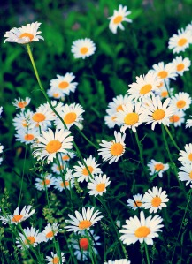 wild daisies1
